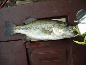 Large Mouth Bass, Root River Parkway Pond, Yellow Green Top Water Spinner